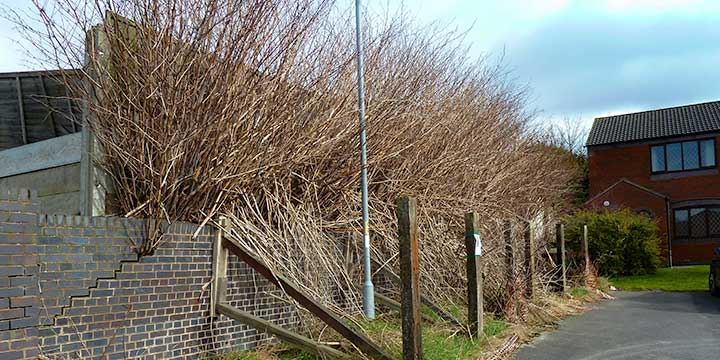 Japanese Knotweed Treatment & Control